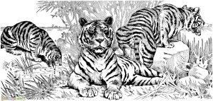 Mewarnai Gambar Harimau 12 Marimewarnai