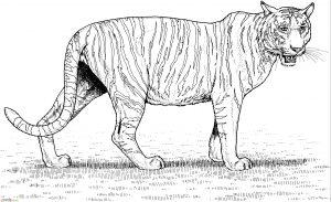 Mewarnai Gambar Harimau 14 Marimewarnai