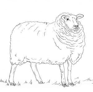 gambar domba hitam putih