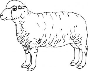 sketsa gambar domba